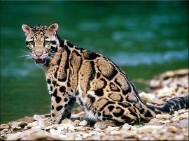 Mateo - leopard 3